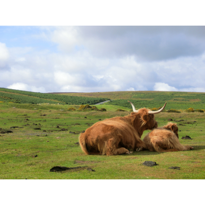 Cattle on Dartmoor